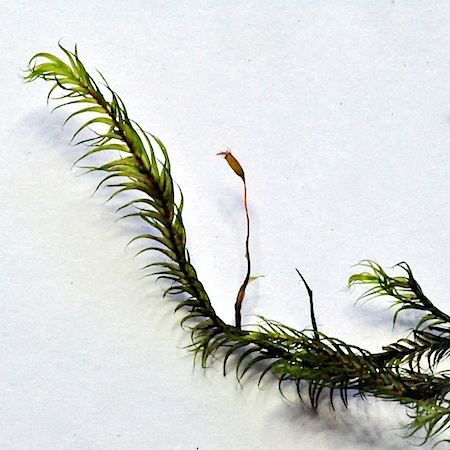 Dichelyma falcatum
