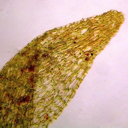 Dichodontium palustre
