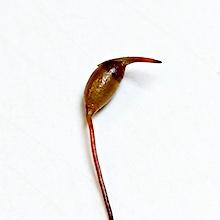 Dicranella grevilleana