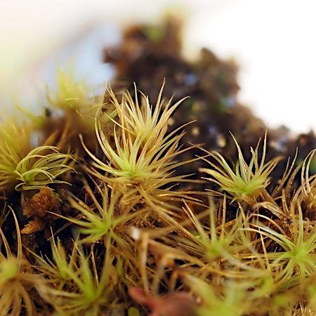 Dicranum angustum