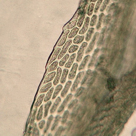 dicranum flexicaule