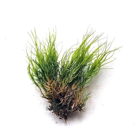 Dicranum fragilifolium