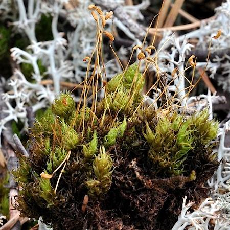 Dicranum spurium