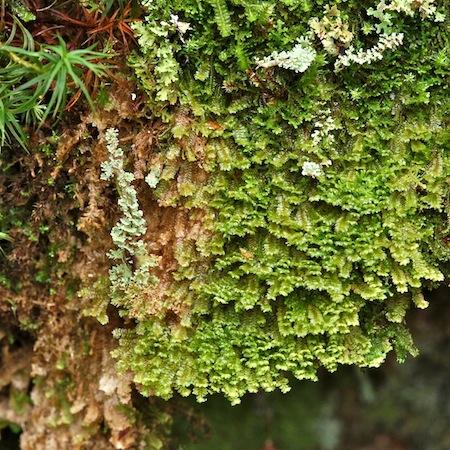diplophyllum taxifolium