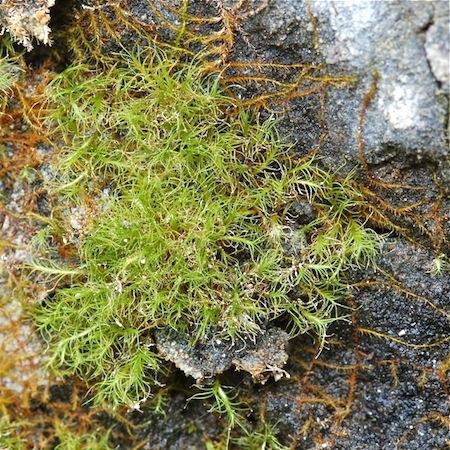 distichium capillaceum