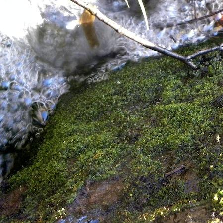 fissidens pusillus