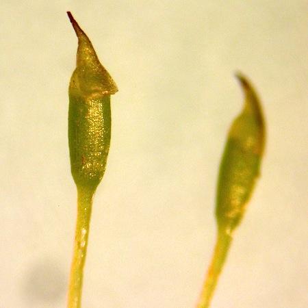 fissidens viridulus