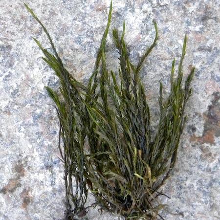 fontinalis dalecarlica