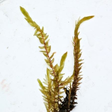fontinalis hypnoides