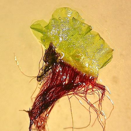 fossombronia foveolata