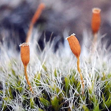 Grimmia alpestris