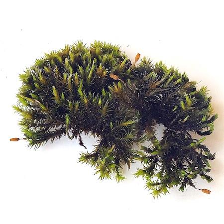 Grimmia longirostris