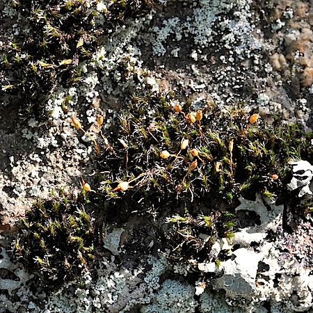 grimmia muehlenbeckii