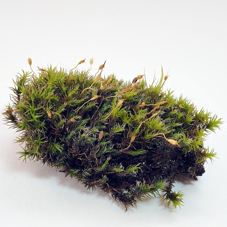 grimmia muehlenbeckii