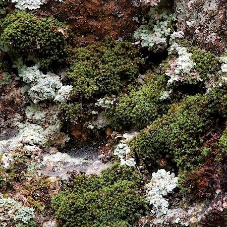 grimmia torquata
