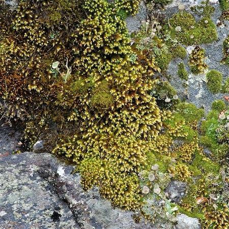hedwigia ciliata