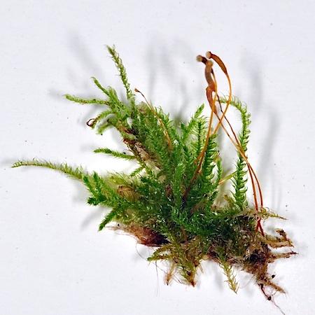 Herzogiella seligeri