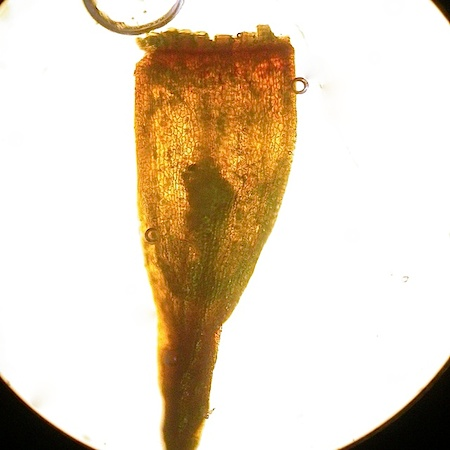 Herzogiella striatella