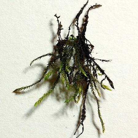 hygroamblystegium fluviatile