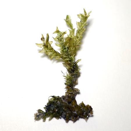 Hygrohypnum duriusculum