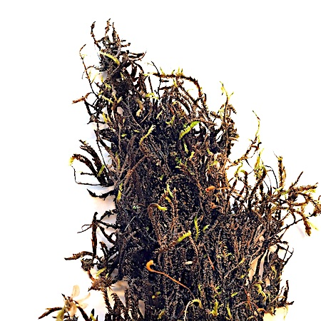 Hygrohypnum luridum