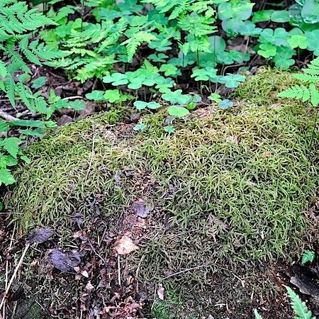 Hylocomiastrum pyrenaicum
