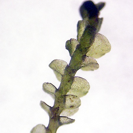 jungermannia gracillima