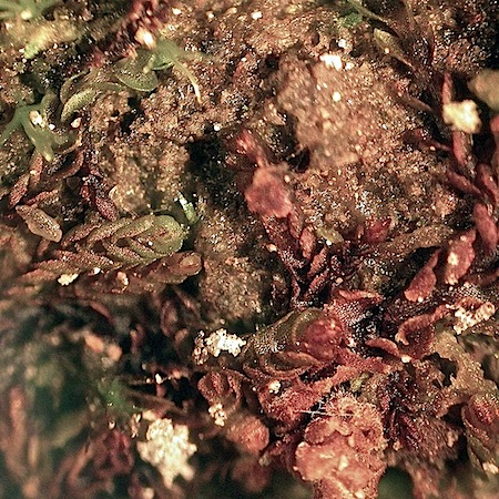 Jungermannia hyalina