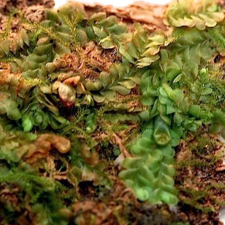 jungermannia leiantha