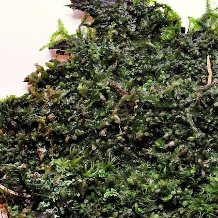 Jungermannia sphaerocarpa