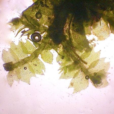 lophocolea minor