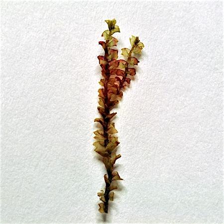 Lophozia debiliformis