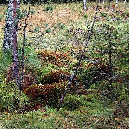 Lophozia silvicola