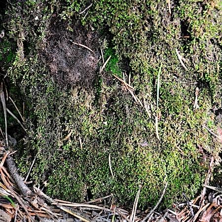 Marsupella sparsifolia