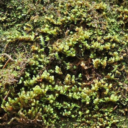 marsupella sphacelata