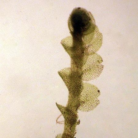 Nardia geoscyphus