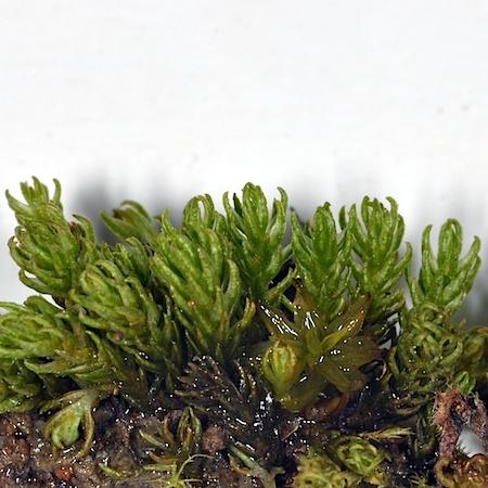 Oligotrichum hercynicum
