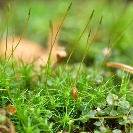 oncophorus wahlenbergii