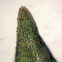 Orthotrichum obtusifolium