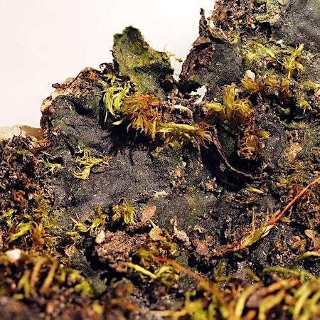Pellia endiviifolia