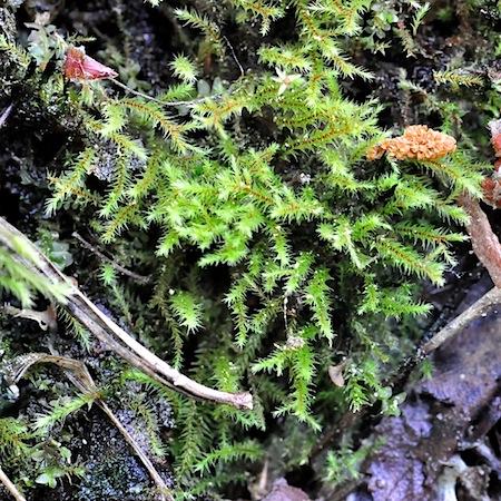 philonotis tomentella