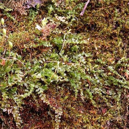 plagiomnium cuspidatum