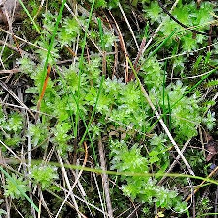plagiomnium undulatum