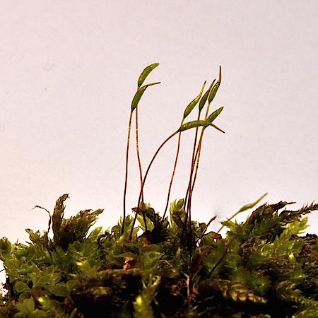 Plagiothecium cavifolium