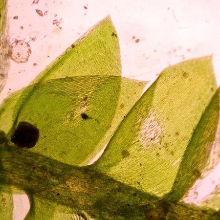 plagiothecium curvifolium