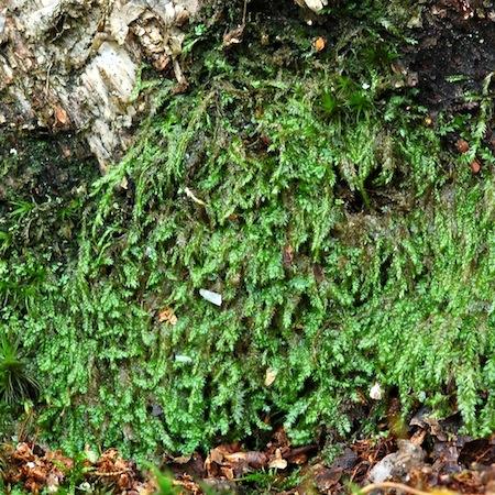 plagiothecium laetum