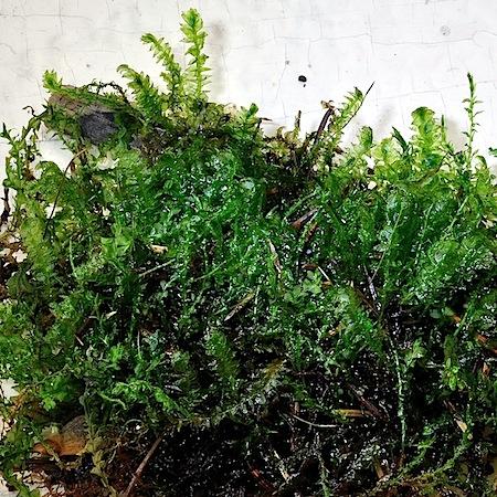 Plagiothecium denticulatum var. undulatum