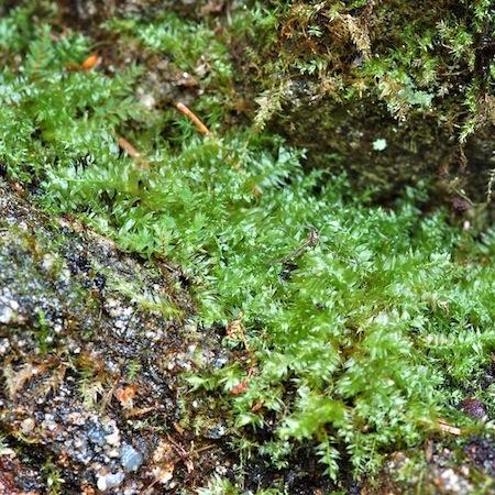plagiothecium succulentum