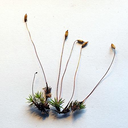 Pogonatum urnigerum