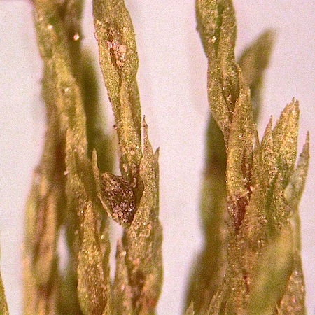 Pohlia filum